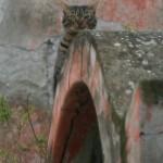 Anacapri gatto